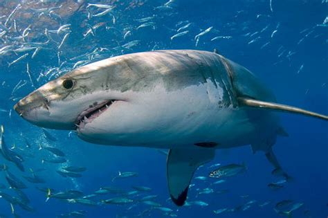 great white sharks facts top  interesting facts