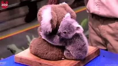 Koala Gifs Animal Cutest Ever