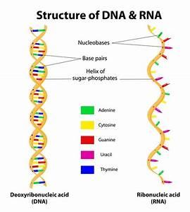 Types Of Rna  Mrna  Rrna And Trna
