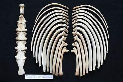 Deer Skeleton Sternum Ribs