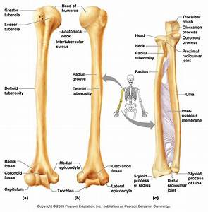 humerus, ulnar and radius bone anatomy - Bone Disease