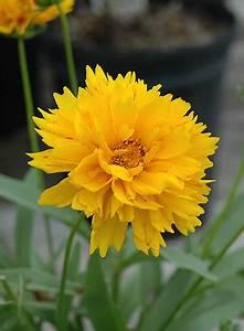 Customer List Coreopsis Grandiflora 39 Sunray 39
