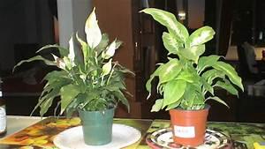 Fleur De Lys Plante : 9 plantes d 39 int rieur qui nettoient l 39 air et qui sont ~ Melissatoandfro.com Idées de Décoration