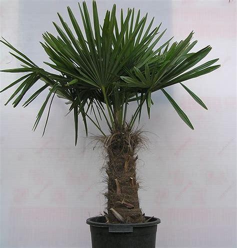 plants flowers 187 trachycarpus fortunei