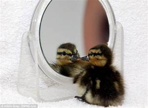Rescue centre gives duckling a mirror so it doesn't die of ...