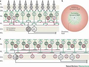 Neuronal Organization Of The Retina A