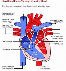 Simple Human Heart Diagram For Kids - Anatomy Organ