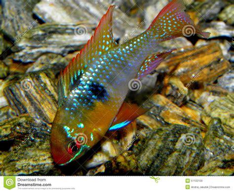 poisson requin aquarium eau douce poissons d aquarium d am 233 rique du sud ramirezi d eau douce de m 233 moire vive de microgeophagus de