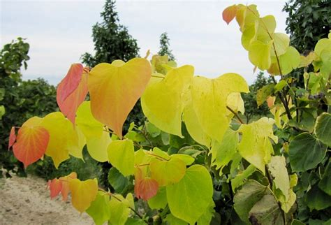 hearts of gold redbud cercis hearts of gold the site gardener