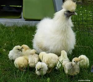 Couveuse Oeuf De Poule : la poule soie une couveuse hors pair le jardin d 39 edwige ~ Premium-room.com Idées de Décoration