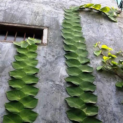 tanaman rambat hias populer mudah dirawat interinoz