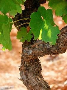 Achat Pied De Vigne Raisin De Table : photos de vignes pied de vigne ~ Nature-et-papiers.com Idées de Décoration