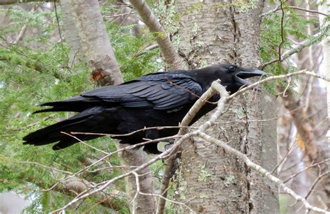 Something Wild Ravens Are Intelligent Opportunists  New Hampshire Public Radio