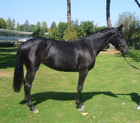 caballos hannoverianos