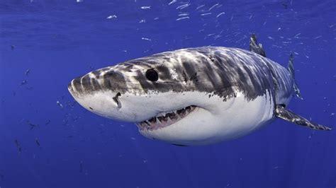 mallorca weißer hai wei 223 er hai wird er im mittelmeer wieder heimisch iq