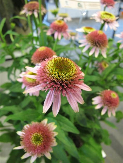coneflower varieties 25 best images about coneflower varieties on pinterest gardens sun and pomegranates