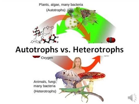 4 best images of diagram autotrophs venn heterotrophs