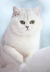 9 best images about British shorthair cats lover on ...