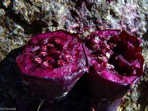 Inside prickly pear cactus fruit | food | Pinterest