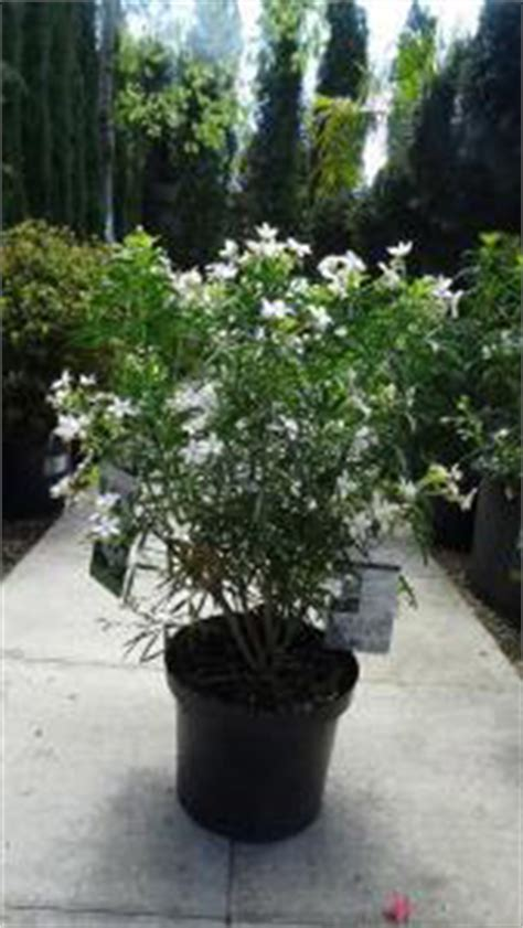 choisya aztec pearl en pot buy choisya aztec pearl mexican orange blossom shrub