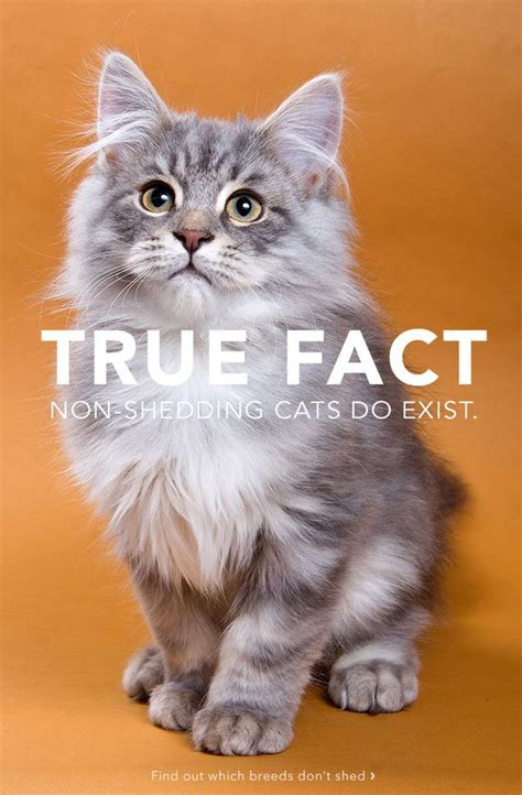 how to stop cats from shedding 10 top non shedding cats care community