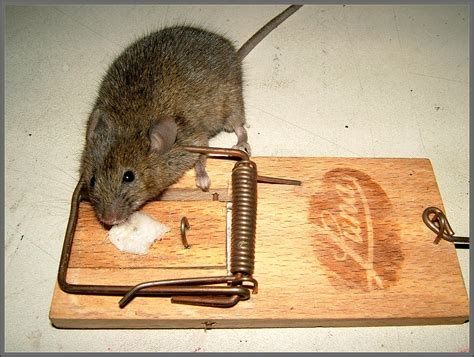 maus im haus fangen maus im haus fangen maus im haus bad wildungen m use im haus bek mpfen krankheiten 3 m use im