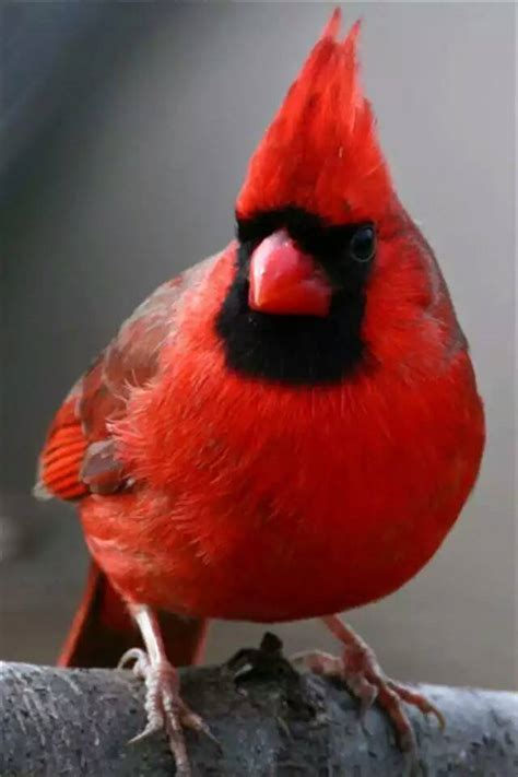 cardinals beautiful bird  red xcitefunnet