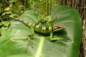 CalPhotos: Laemanctus longipes; Eastern Casquehead Iguana
