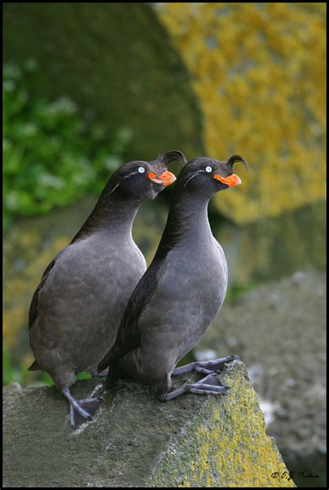 crested auklet page