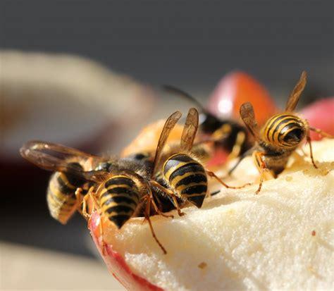 Die besten Hausmittel gegen Wespen