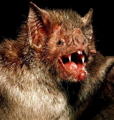 vire bat facts