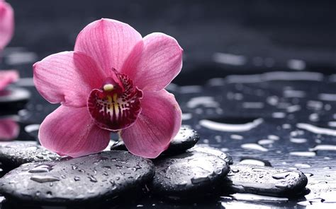 orchids purple flowers pebbles water drops wallpapers