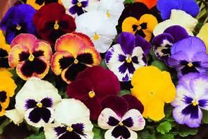 Pansies Leigh Florist