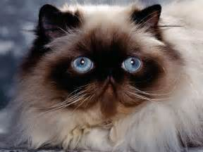 himalayan cats for leopard himalayan cat