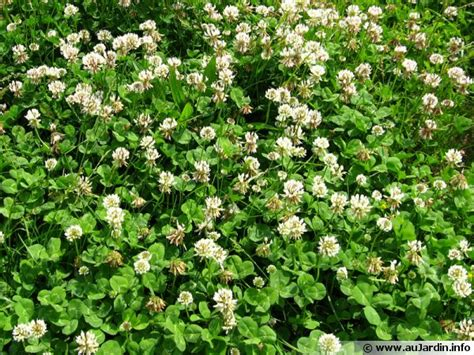 trèfle blanc trifolium repens conseils de culture