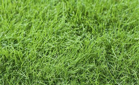 Fine Fescue Care - Information And Tips On Using Fine ...
