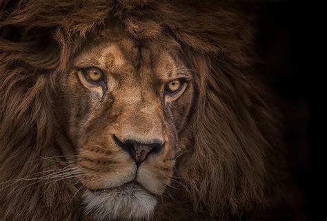 Lion Predator Wallpaper
