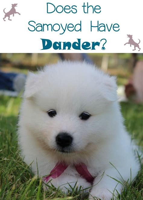 does samoyed shed a lot 90 best images about animals on cats