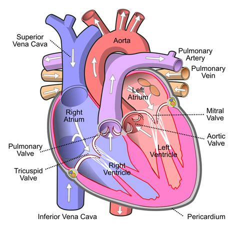 Filediagram Of The Human Heart Cropped Svg