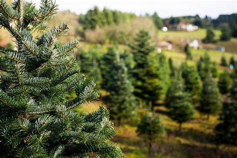 how to start a christmas tree farm on the side set your