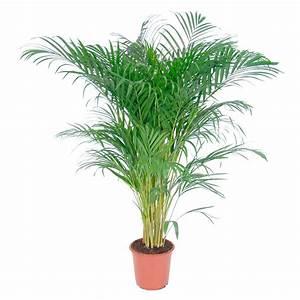 Palmen Kaufen Baumarkt : palmen palmenartige pflanzen kaufen bei obi ~ Orissabook.com Haus und Dekorationen