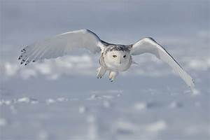 Snowy Owl Archives - Wild About Utah