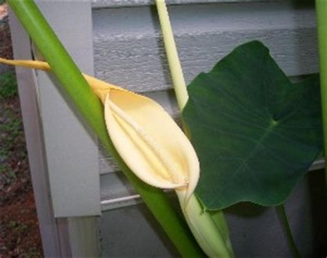 elephant ear flower pictures elephant ear blooms walter reeves the georgia gardener
