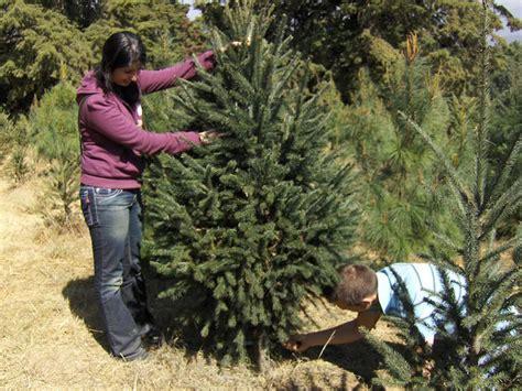 precio de los arboles cortados de navidad bosque de los 225 rboles de navidad en amecameca