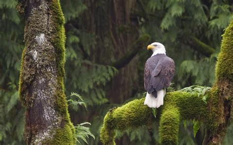 Nature, Animals, Wildlife, Birds, Eagle Wallpapers Hd