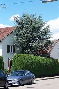 Baum Vorgarten Immergrün : fichte picea abies vorgarten bepflanzen immergruen ~ Michelbontemps.com Haus und Dekorationen