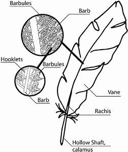 Feather Structure Consisting Of A Hollow Shaft  Quill  And