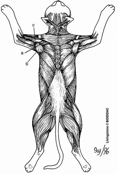 Muscles Cat Anatomy Dorsal Coloring Muscle Dissection