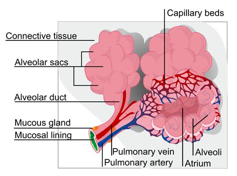 Filealveolus Diagram Svg Simple English The Free