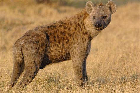 spotted hyena crocuta crocuta portrait photograph by pete oxford